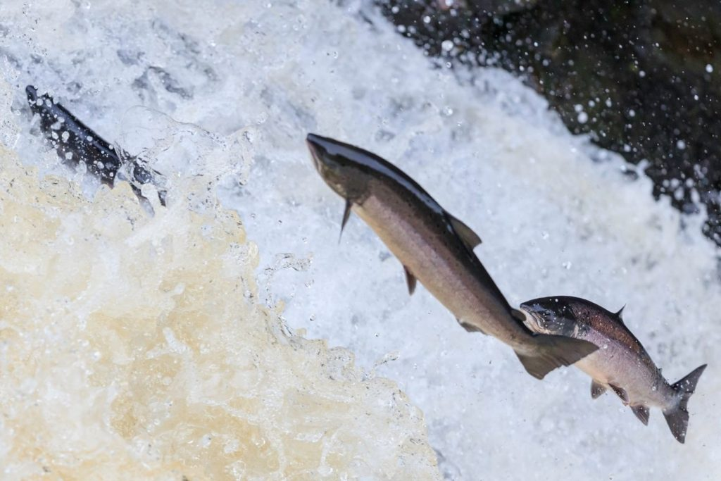 Salmon leaping up waterfall in Perthshire